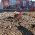 The bare necked chicken, yes, they have no feathers there