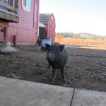 Frank, the feral rescue potbelly pig